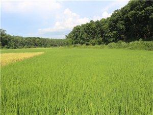 """七坊��h委政府引�M""""超�水稻""""�槊裰\利"""