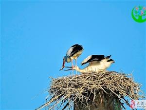 6月水上公园筑巢的东方白鹳