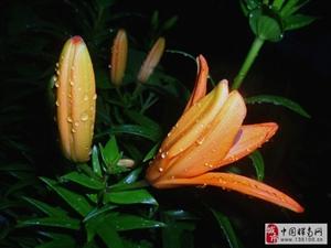 雨后百合花
