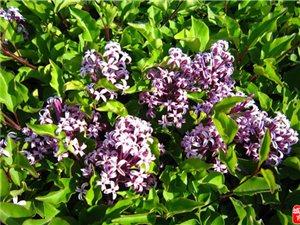 紫萱花的泪珠