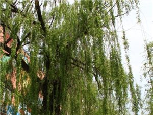 学生习作:门前的柳树