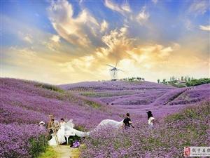 贵州桐梓娄山关观赏紫色花海
