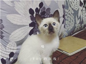出售自家暹罗猫幼崽