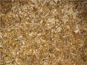 本人有黄粉虫出售每斤15块一斤起送货上门,15978111244