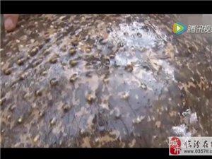 """男子河里捕到百岁甲鱼 满身镶嵌""""珍珠"""""""