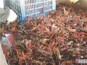 威尼斯人注册大厨返乡养殖小龙虾