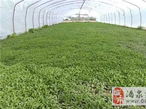 私人出售甜葉菊幼苗、種苗
