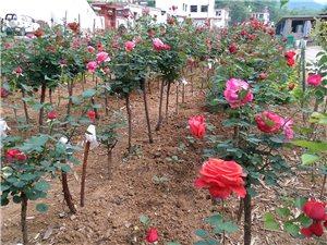 自家育苗,玫瑰月季,批发零售!