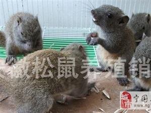 黄山松鼠幼崽