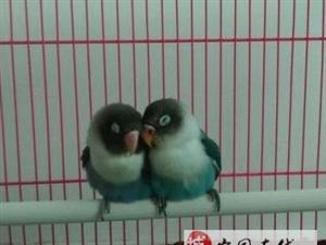 10个月大蓝黑头鹦鹉