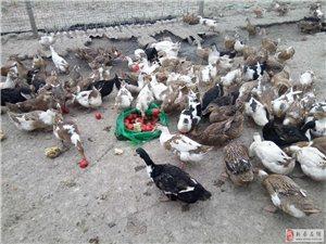 緊急出售大量放養兩年多的老鴨