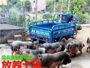 大量纯农家有机绿色—— 放养土猪寻找收购合作伙伴