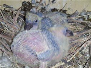信鸽肉鸽幼鸽出售