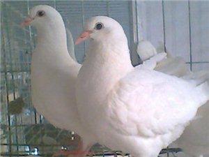 本人出售乳鴿