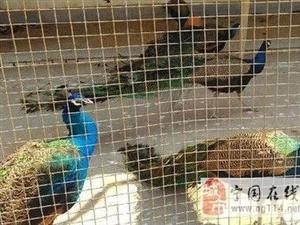孔雀养殖场低价出售孔雀