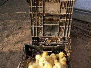大量出售鸡雏,鸭雏,鹅雏