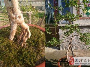 软枣猕猴桃树苗