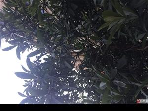 近20年的枇杷树·结果几年了