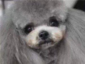 超稀有的灰色泰迪 全部真实照片