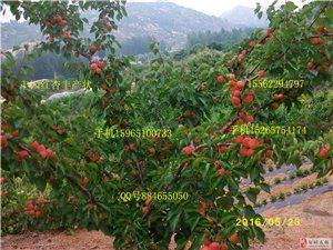 供应颜色浓红口感香甜的丰园红杏苗