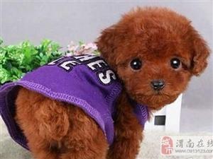 最热门热销的泰迪熊宝宝出售自家养的 非常的健康漂亮 - 60