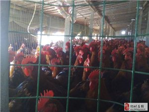 出售优质散养红玉公鸡