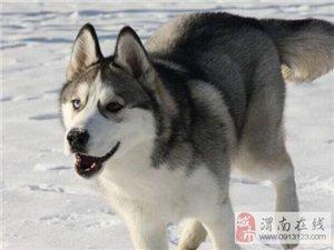 二货哈士奇包纯种健康出售 签协议支持视频选狗