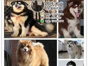 琼海什么地方有狗场卖宠物狗/琼海哪里有卖阿拉斯加犬
