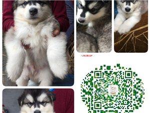 出售家�B阿拉斯加幼犬一�C,公母均有