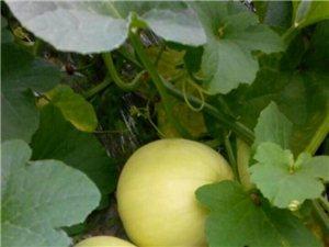 興國縣高興鎮高湖村水果大棚西瓜開始上市了