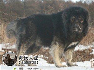 海南什么地方有狗场卖宠物狗/琼海哪里有卖高加索犬