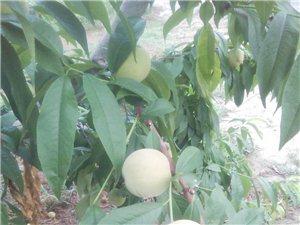 顺勇农场自采园有优质的黄白桃