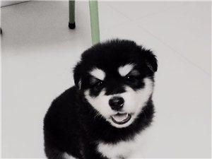 一月大阿拉斯加幼犬一只,母。现低价800元出售