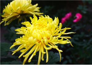 农家自产花卉、菊花、苗木、月季等