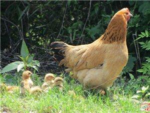 桃岭农户散养土鸡出售