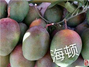 自家种植攀枝花大芒果