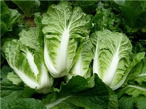 出售高山精品白菜、油麥、蓮白,量大從優,速度搶購