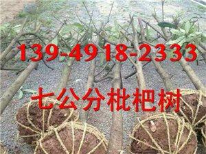 潢川枇杷價格/潢川枇杷樹苗價格/潢川枇杷供應