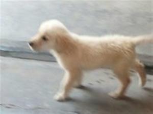 两个月大金毛,公犬