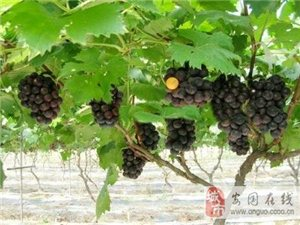 8月中旬成熟葡萄�A售