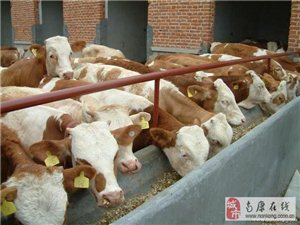 售西門塔爾肉牛