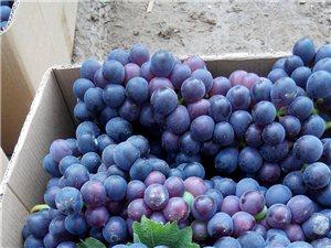 優質紫葡萄成熟,想自制葡萄酒的來