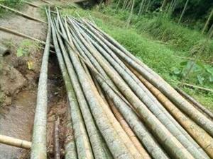 大量收购大楠竹