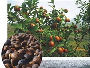 公司提供良种油茶苗木,果子大,出油率高