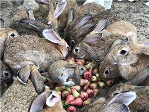 放养杂交野兔