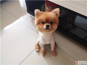 寻狗启示??6月26日早7点左右,我家狗在时代豪庭小区门口遛狗时被不知名人士带走。一只刚剃了毛的