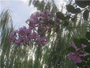 七古:紫薇