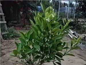 桂花树,各种绿化树苗