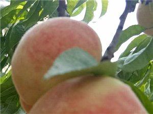 自家�N2��的桃子,平均每��半斤左右,�g迎大家去采摘